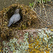 American Dipper Building Nest   #1535 Poster
