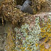 American Dipper In Nest   #1468 Poster