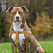American Staffordshire Terrier Poster