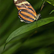 An Isabella Butterfly Eueides Isabella Poster