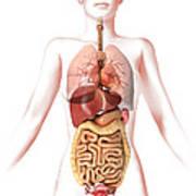 Anatomy Of Female Body With Internal Poster by Leonello Calvetti