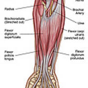 Anatomy Of Forearm Muscles, Anterior Poster