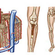Anatomy Of Human Bone Marrow Poster