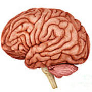 Anatomy Of Human Brain, Side View Poster