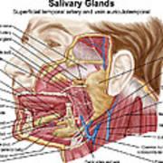 Anatomy Of Human Salivary Glands Poster