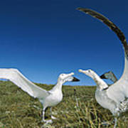 Antipodean Albatross Courtship Display Poster by Tui De Roy