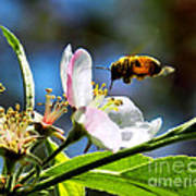 Apple Blossom And Honey Bee Poster