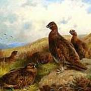 Red Grouse Poster