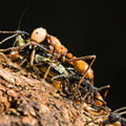 Army Ant Carrying Cricket La Selva Poster