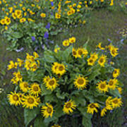 Arrowleaf Balsamroot And Lupine Poster