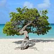 Aruba Divi Divi Tree Poster