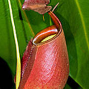 Asian Pitcher Plant Poster