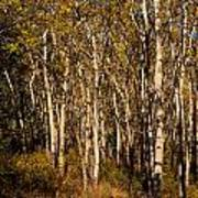 Aspen Forest In Fall Poster