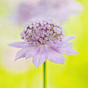 Astrantia 'larch Cottage' Poster