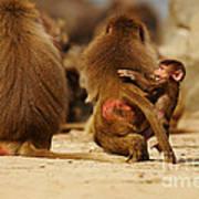 Baboon Family In The Desert Poster