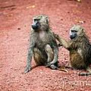 Baboons In African Bush Poster