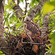 Baby Red Shouldered Hawk Poster
