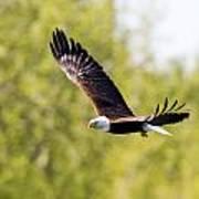Bald Eagle Poster