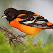 Baltimore Oriole Foraging Poster