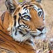 Bandhavgarh Tigeress Poster