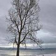 Bare Tree On A Wintery Tahoe Shoreline Poster