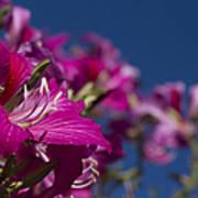 Bauhinia Purpurea - Hawaiian Orchid Tree Poster