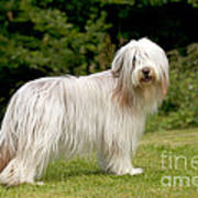 Bearded Collie Dog Poster