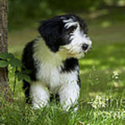 Bearded Collie Puppy Poster