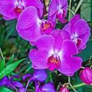 Beautiful Purple Orchid - Phalaenopsis Poster