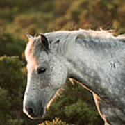Beauttiful Close Up Of New Forest Pony Horse Bathed In Fresh Daw Poster