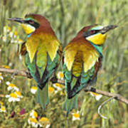 Bee-eaters Poster