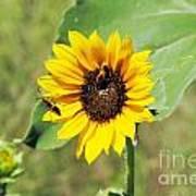 Bee Sunflower Poster