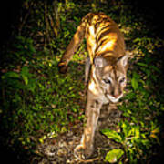 Belize Mountain Lion Poster