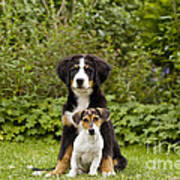 Bernese Mountain & Jack Russell Puppies Poster