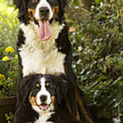 Bernese Mountain Dogs Poster