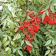 Berry Bush Poster