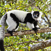 Black And White Ruffed Lemur Madagascar Poster