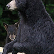 Black Bear With Cub Poster