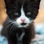 Black And White Kitten Poster