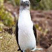Blue Footed Boobie Dancing Galapagos Poster
