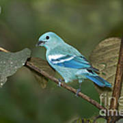 Blue-gray Tanager Poster