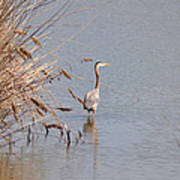 Blue Heron In The Wild Poster