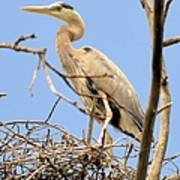 Blue Heron Rookery 7231 Poster