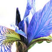 Blue Iris 1 Poster