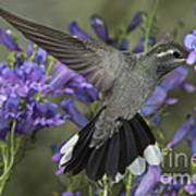 Blue-throated Hummingbird Poster