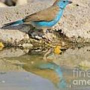 Blue Waxbill Reflection Poster