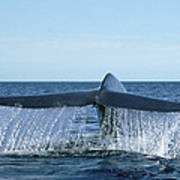 Blue Whale Tail Sea Of Cortez Poster
