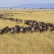 Blue Wildebeest Migrating Masai Mara Poster