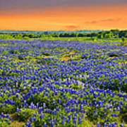 Bluebonnet Sunset  Poster