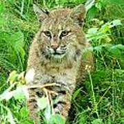 Bobcat Lynk Sitting In Grass Close-up Poster by Sylvie Bouchard